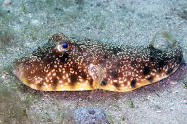 Southern Puffer (Sphoeroides nephelus)
