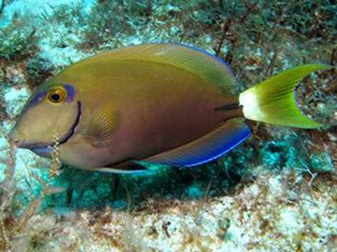 Ocean Surgeonfish (Acanthurus bahianus)