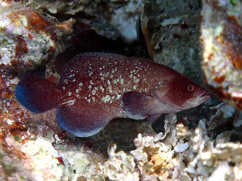 Soapfish (Rypticus saponaceus)
