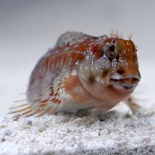 other blenny