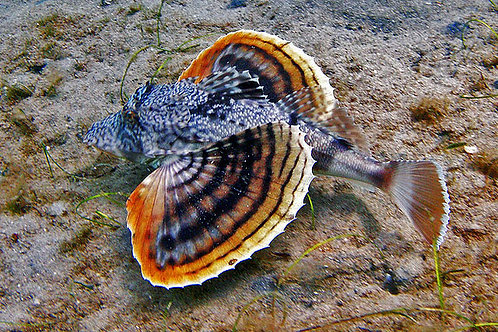 Sea Robin (Priontus sp)