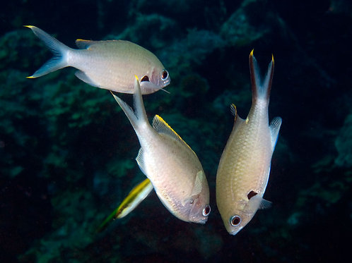 Brown (Yellowedge) Chromis (Chromis multilineata)