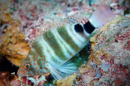 Red Spotted Hawkfish (Amblycirrhitus pinos)