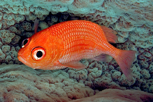 Cardinal Soldierfish (Plectrypops retrospinis)