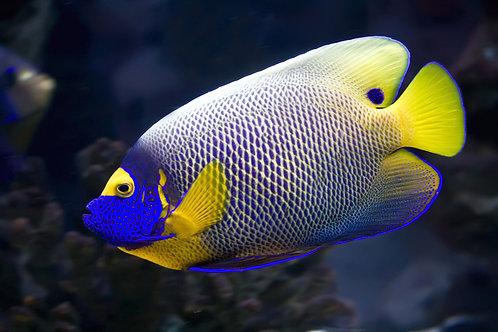 Blueface (Yellowface) Angelfish (Pomacanthus xanthometopon)