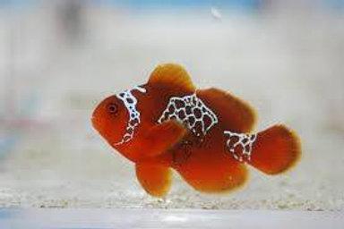 Maroon Lightning Clownfish