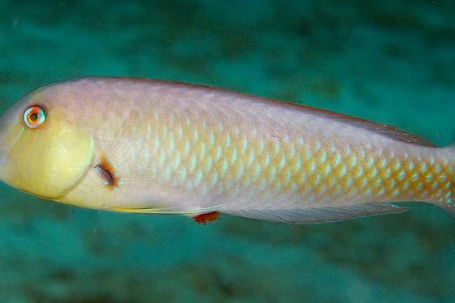 Rosy Razorfish (Xyrichtys martinicensis)