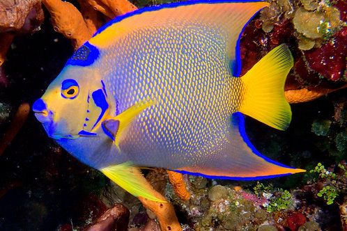 Queen Angelfish (Holacanthu ciliaris)