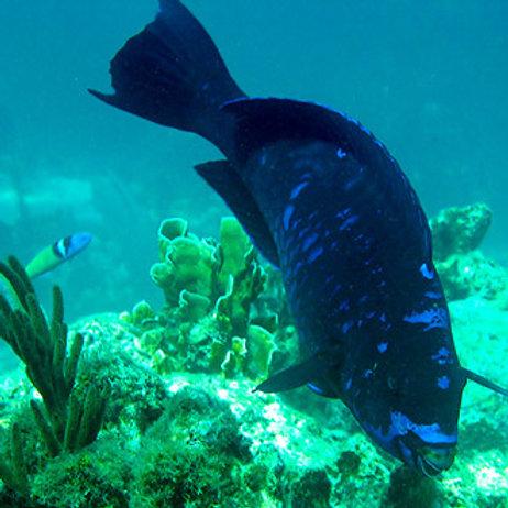 Midnight Parrotfish (Scarus coelestinus)