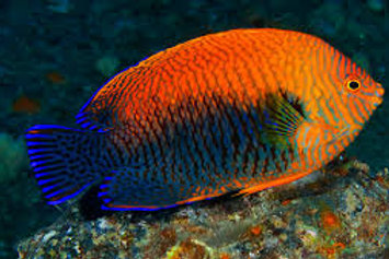 Potters Angelfish (Centropyge potteri)