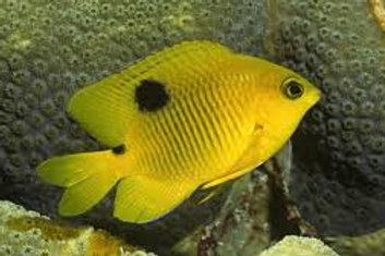 Three Spot Damselfish (Stegastes planifrons)