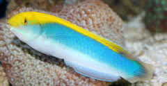 Lightning Wrasse adult