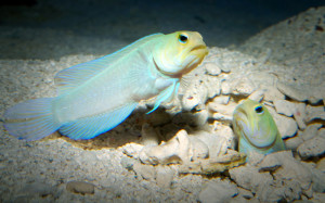yellowhead-jawfish-2
