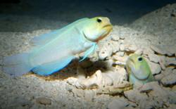 yellowhead-jawfish-2