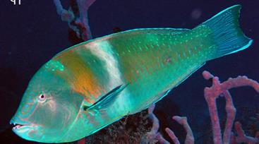 Puddingwife adult