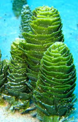 plant pinecone