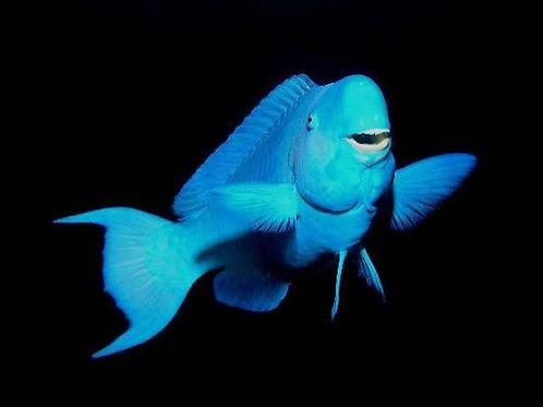 Blue Parrotfish (Scarus coeruleus)