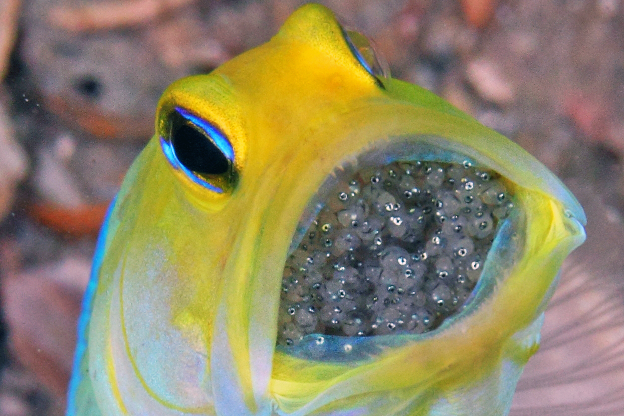 yellowhead_jawfish_eggs