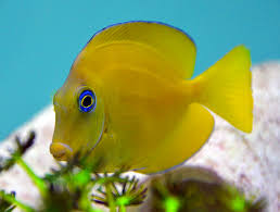 Atlantic_Blue_Tang_juvi