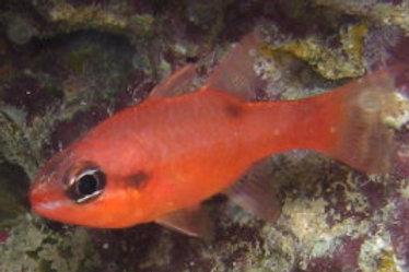 Flame Cardinal (Apogon maculatus)