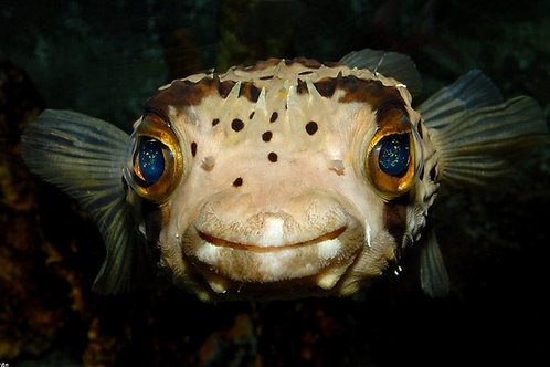 Balloon Puffer (Diodon holocanthus)