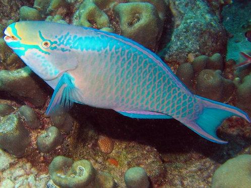Queen Parrotfish (Scarus vetula)