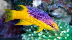 spanish-hogfish-s