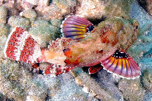 Scorpion Fish (Scorpaena sp)