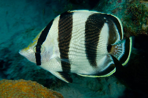 Banded Butterfly (Chaetodon striatus)