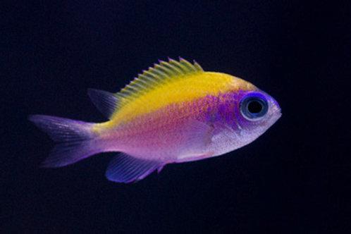 Sunshinefish (Chromis insolata)