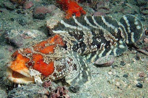 Gulf Toadfish (Opsanus beta)