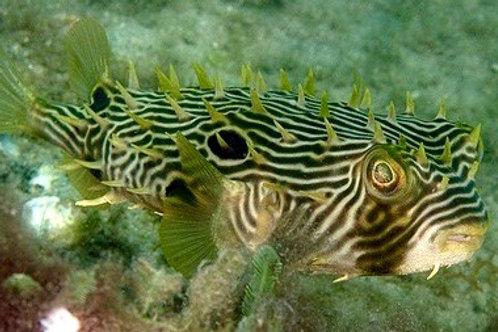 Spiny Box (Burrfish) Chilomycterus schoepfi)
