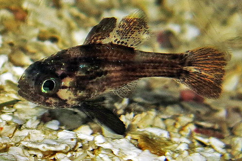 Conchfish (Astrapogon stellatus