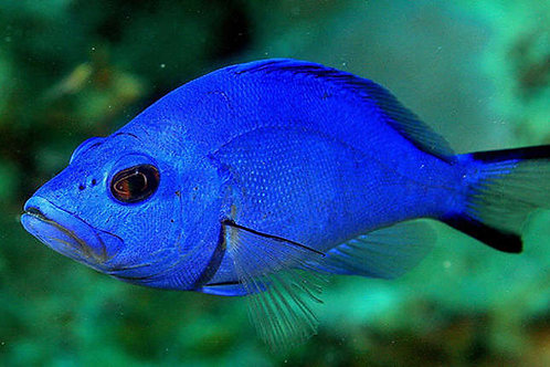 Blue Hamlet (Hypoplectrus gemma)