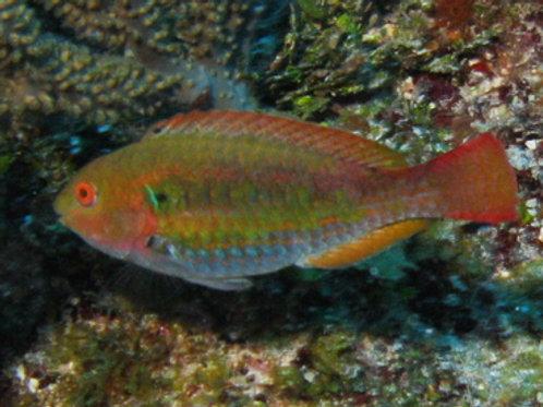 Green Blotch Parrotfish (Sparisoma atomarium)