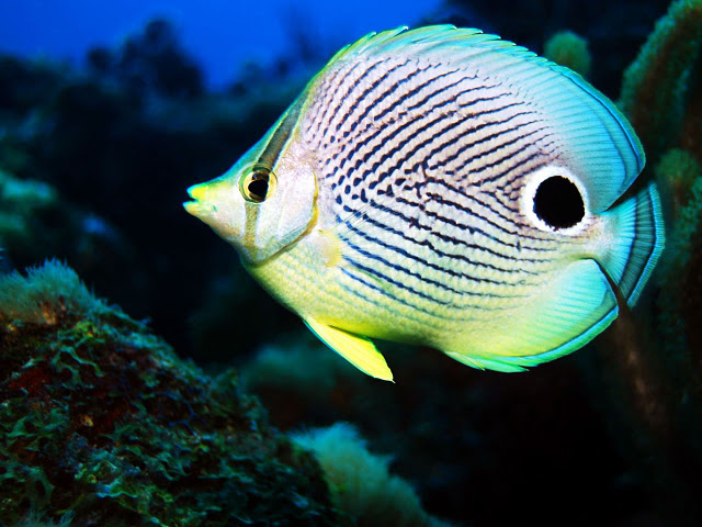 Four Eye Butterflyfish1