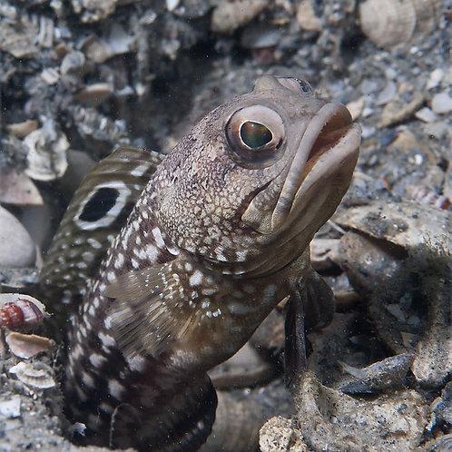 Spotfin Jawfish (Opistognathus robinsi)