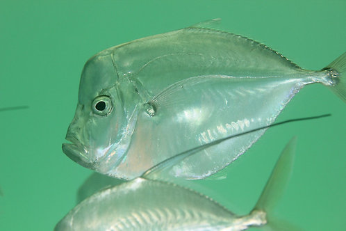 Atlantic Moonfish (Selene setapinnis)