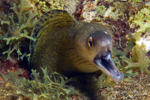 Purplemouth Moray (Gymnothorax vicinus)