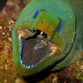 Green Moray (Gymnothorax funebris)