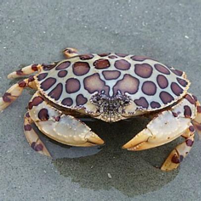 Box Crabs