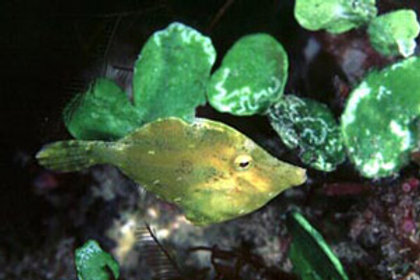 Fringed (Green) Filefish (Monacanthus ciliatus)