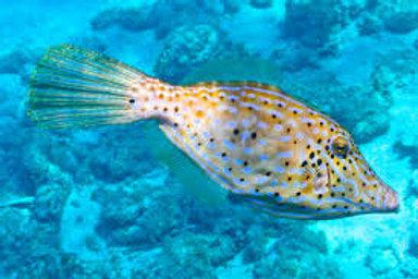 Scrawled Filefish (Aluterus scriptus)