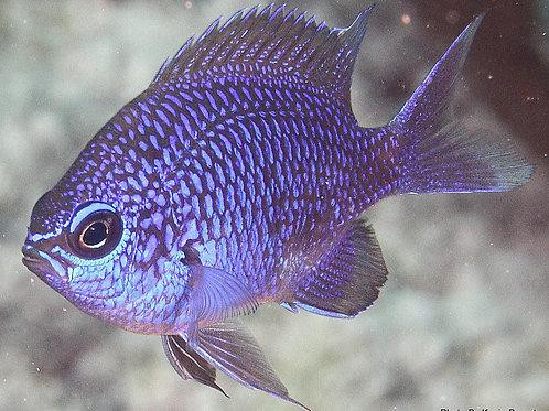 Purple Reeffish (Chromis scotti)