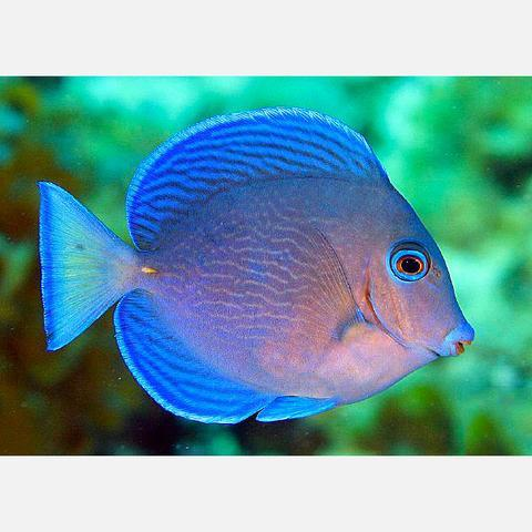Atlantic_Blue_Tang_adult
