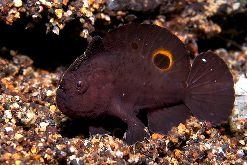 Oscellated Frogfish (Fowlerichthys ocellatus)