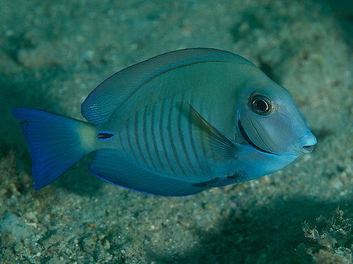 Doctor Surgeonfish (Acanthurus chirurgus)
