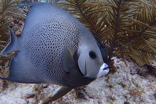 Black (Gray) Angelfish (Pomacanthus arcuatus)