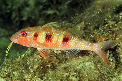 Spotted Goatfish (pseudupeneus maculatus)