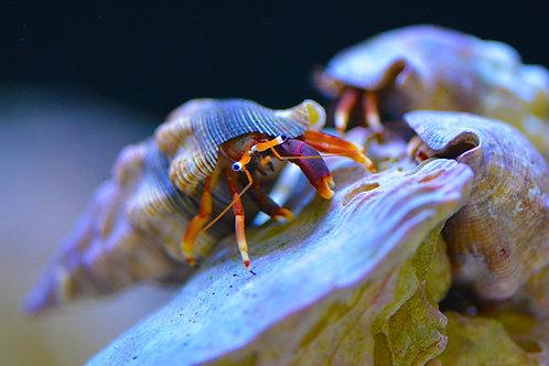 Orange Claw Hermit Crab (Calcinus tibicen)